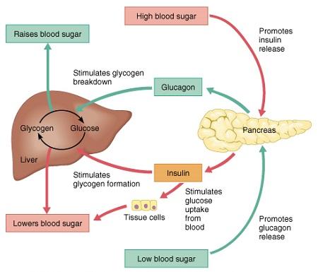 Low Blood Sugar-Hypoglycaemia