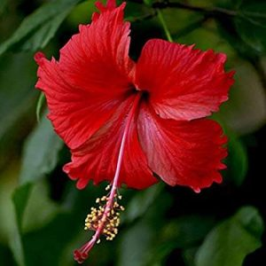 How To Make a Hibiscus Hair Mask